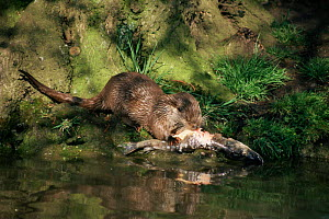 European river otter {Lutra lutra} feeding on a dead Pike on river bank, UK. - Martin H Smith