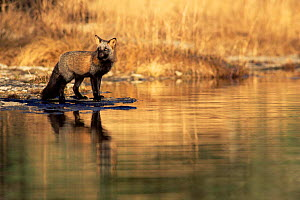 Crossed phase American Red fox {Vulpes vulpes} standing in river. Anticosti Island, Canada.  -  Jose Schell