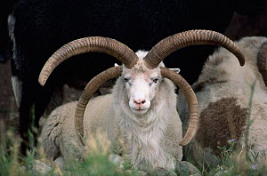 Rare breed domestic Churro sheep, NM, USA.  -  John Cancalosi