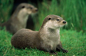 Two European river otters {Luyra lutra} resting a on grass bank. Captive  -  Ingo Arndt