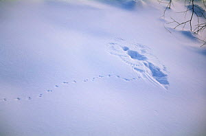 Footprints of Harvest mouse {Micromys minutus} in snow leading to print where bird landed and took mouse, far east Russia.  -  Yuri Shibnev