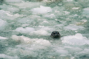 Common / Harbour seal {Phoca vitulina} head emerging through sea ice, Alaska.  -  Larry Michael