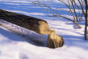 American beaver {Castor candensis} tree damage, USA.  -  Larry Michael