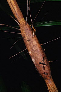 Unidentified ant species on Rattan palm, Ulu Temburong NP. Brunei, Borneo - Daniel Gomez