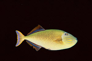 Redtail triggerfish, female (Yellow tail) {Xanthichthys mento} Mexico, pacific  -  Doug Perrine