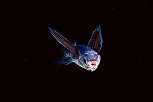 Flying fish {Hirundichthys affinis} Atlantic - Doug Perrine