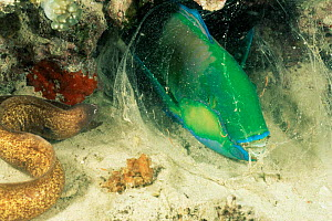Grey faced / White eyed moray eel {Siderea thyrsoidea} and  Bleeker's parrotfish sleeping wrapped in mucus.  -  Doug Perrine