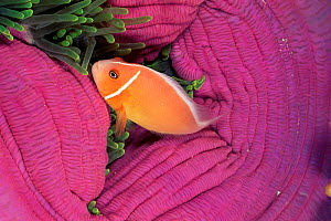 Pink anemonefish {Amphiprion perideraion} amongst Magnificent sea anemone, Palau Micronesia  -  Doug Perrine