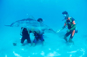 Divers play with Rough toothed dolphin {Steno bredanensis} Polynesia  -  Doug Perrine