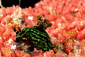 Dorid nudibranch {Nembrotha kubaryana} feeding on tunicates, Borneo  -  Doug Perrine