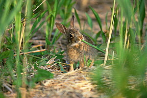 Eastern cottontail rabbit {Sylvilagus floridanus} feeding on Spartina. USA.  -  Doug Wechsler