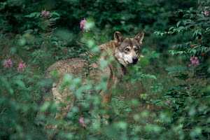 European grey wolf {Canis lupus} in undergrowth. Germany. Captive - VINCENT MUNIER