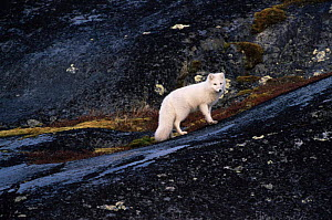 Arctic fox {Vulpes lagopus} in white phase winter coat, standing on dark rocks. Canada. - Tom Vezo