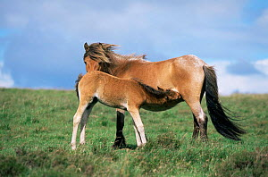 Exmoor pony mare {Equus caballus} and foal suckling. Exmoor National Park, UK.  -  Mike Wilkes