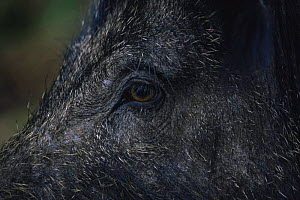 Close-up to face and eye of female Wild boar {Sus scrofa} UK. Captive  -  WILLIAM OSBORN