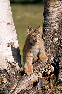 Juvenile Canadian lynx {Lynx lynx canadensis} standing at base of birch trees. USA captive  -  Mary McDonald