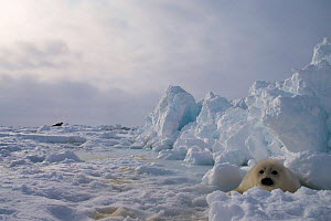 Harp seal pup {Phoca groenlandicus} camouflaged on snow and ice. Canada  -  Mary McDonald