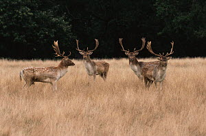 Bachelor herd of Fallow deer {Dama dama} UK. - John Cancalosi