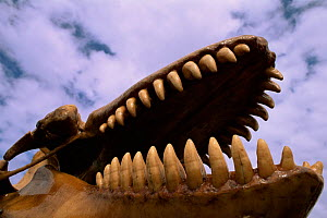 Skull of Orca / Killer whale {Orcinus orca}. Falkland Islands. - Pete Oxford