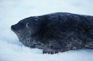 Portrait of Ringed seal {Phoca hispida} Lancaster Sound, Canada - Doug Allan
