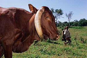 Unusual horn formation in a Tutsi cow {Bos taurus}  Virunga National Park, Zaire,  Africa  -  Jabruson