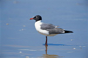 Laughing gull {Leucophaeus atricilla} portrait in shallow water, USA. - Tom Vezo