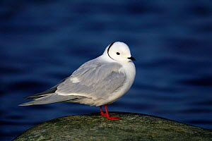 Ross's gull {Rhodostethia rosea} portrait on a rock, USA. - Tom Vezo
