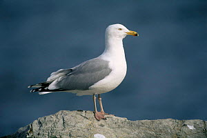 Herring gull {Larus argentatus} portrait on a rock, USA. - Tom Vezo