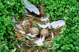 Herring gull {Larus argentatus} eggs in nest, Newfoundland, Canada. - Tom Vezo