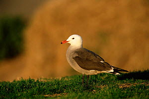 Heermann's gull {Larus heermanni} portrait, USA. - Tom Vezo