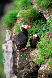 Tufted puffin {Lunda cirrhata} pair perched on cliff edge, Alaska. Saint Paul Island - Tom Vezo