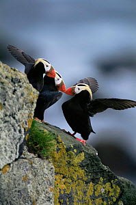 Tufted puffins {Lunda cirrhata} fighting, Alaska. Saint Paul Island - Tom Vezo