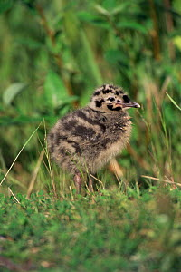 Common/ Mew gull {Larus canus} chick, Alaska - Tom Vezo