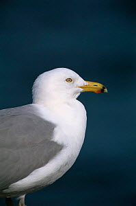 Herring gull {Larus argentatus} profile portrait, USA. - Tom Vezo