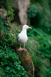 Herring gull {Larus argentatus} perched in rock on cliff edge, Newfoundland, Canada - Tom Vezo