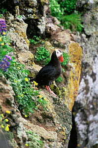Tufted puffin {Lunda cirrhata} perched on cliff edge, Alaska. Saint Paul Island - Tom Vezo