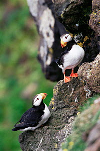 Two Tufted puffins {Lunda cirrhata} perched on cliff edge, Alaska. Saint Paul Island - Tom Vezo