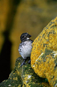 Least Auklet {Aethia pusilla} perched on cliff edge, Alaska. Saint Paul Island - Tom Vezo