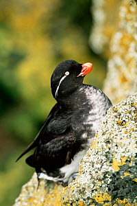 Parakeet Auklet {Aethia psittacula} portrait on a rock, Alaska. Saint Paul Island - Tom Vezo