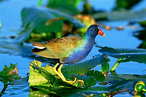 Purple gallinule {Porphyrio martinicus} on a water lily in Florida, USA Everglades National Park, Florida - Tom Vezo