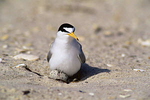 Least tern {Sternula antillarum} settling down onto eggs, Long Island, USA. - Tom Vezo