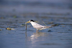 Least tern {Sternula antillarum} standing in water with a fish in bill, USA. - Tom Vezo