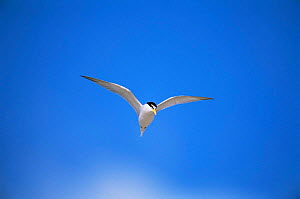 Least tern {Sternula antillarum} in flight, Long Island, USA. - Tom Vezo