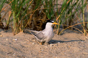 Least tern {Sternula antillarum} on nest, Long Island, USA. - Tom Vezo