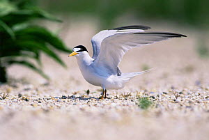 Least tern {Sternula antillarum} stretching wings on the beach, Long Island, USA. - Tom Vezo