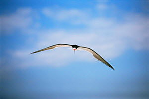Black skimmer {Rynchops nigra} in flight, Long Island, USA. - Tom Vezo