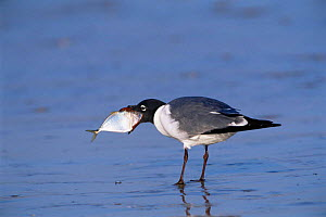 Laughing gull {Leucophaeus atricilla} swallowing large fish, Texas, USA. - Tom Vezo