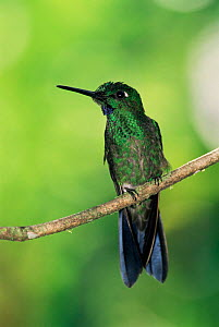 Green crowned brilliant hummingbird {Heliodoxa jacula} perching, Ecuador. Macipucunia - Pete Oxford