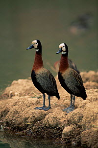Two White faced whistling ducks {Dendrocygna viduata}, Madagascar.  -  Pete Oxford
