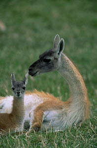 Guanaco resting with baby {Lama guanicoe} Torres del Paine NP, Chile - Hermann Brehm